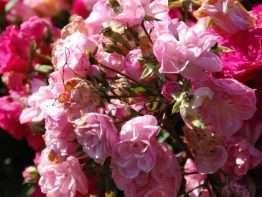 Guirlande Rose