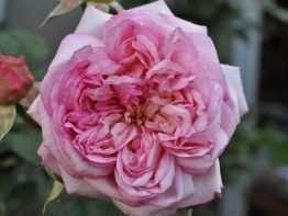 Rose vom Ruhrtal