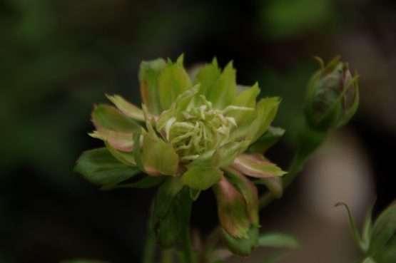 chinensis Viridiflora