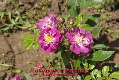 Lavender Friendship