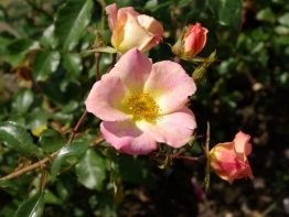 My wild Irish rose