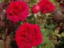 Velvet Fragrance ®