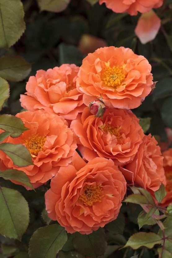 Orange Meilove ®