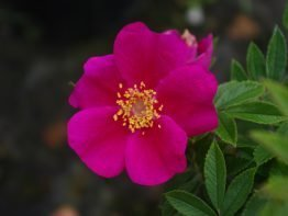 Pink Valeda
