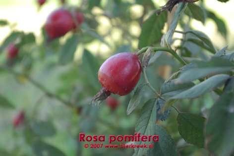 villosa (pomifera)