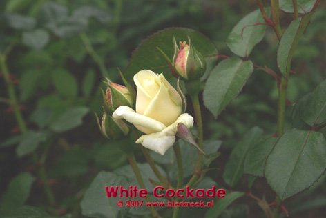 White Cockade